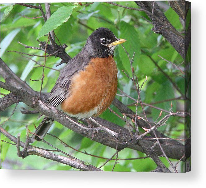 American Robin Acrylic Print featuring the photograph Robin by Doris Potter