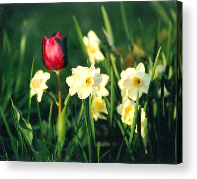 Tulips Acrylic Print featuring the photograph Royal Spring by Steve Karol