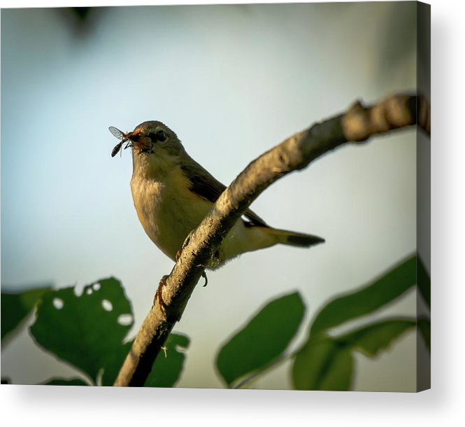 American Redstart Bird Warbler Nature Wildlife Insect Acrylic Print featuring the photograph Savor The Moment by Phillip Beyser