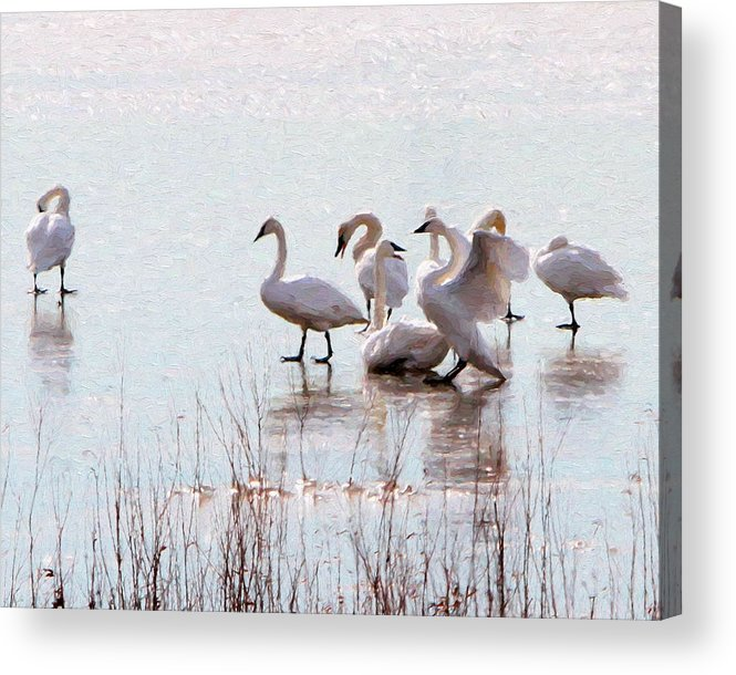 Trumpeter Swans Acrylic Print featuring the photograph Shunned by John Freidenberg