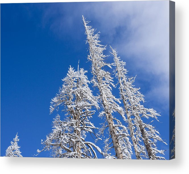 Winter Acrylic Print featuring the photograph Snow Covered Trees by Kelley King