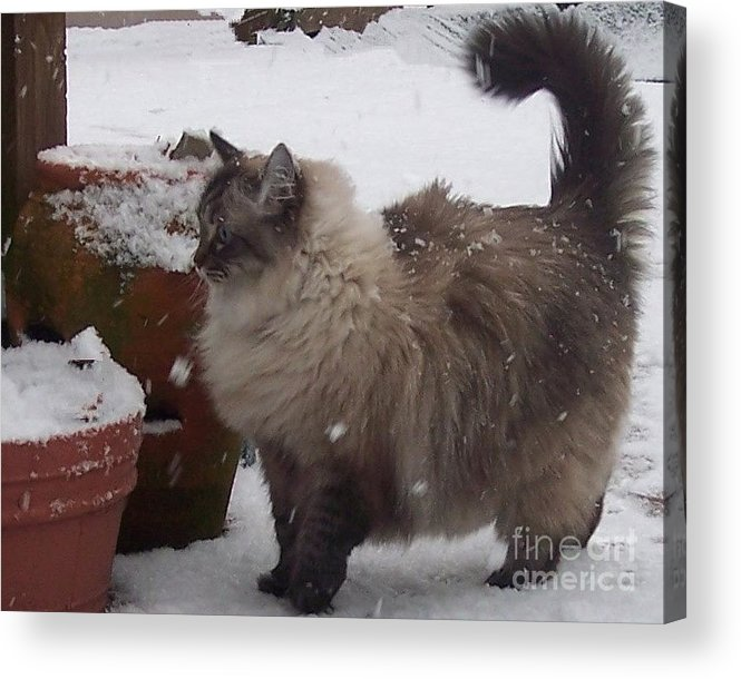 Cats Acrylic Print featuring the photograph Snow Kitty by Debbi Granruth