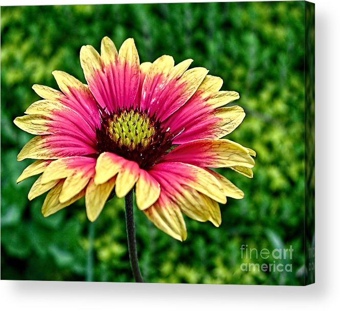 Flower Acrylic Print featuring the photograph Summer Color by Edward Sobuta