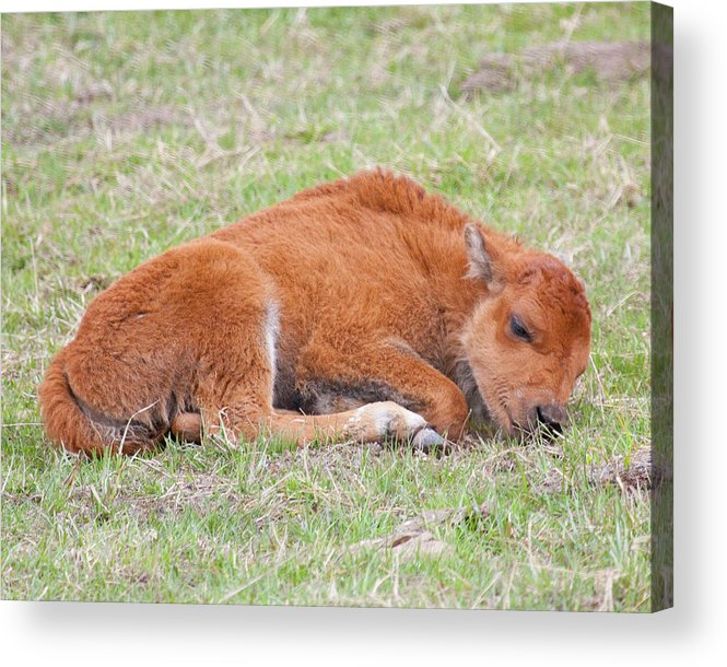Bison Acrylic Print featuring the photograph Sweet Dreams by Katie LaSalle-Lowery
