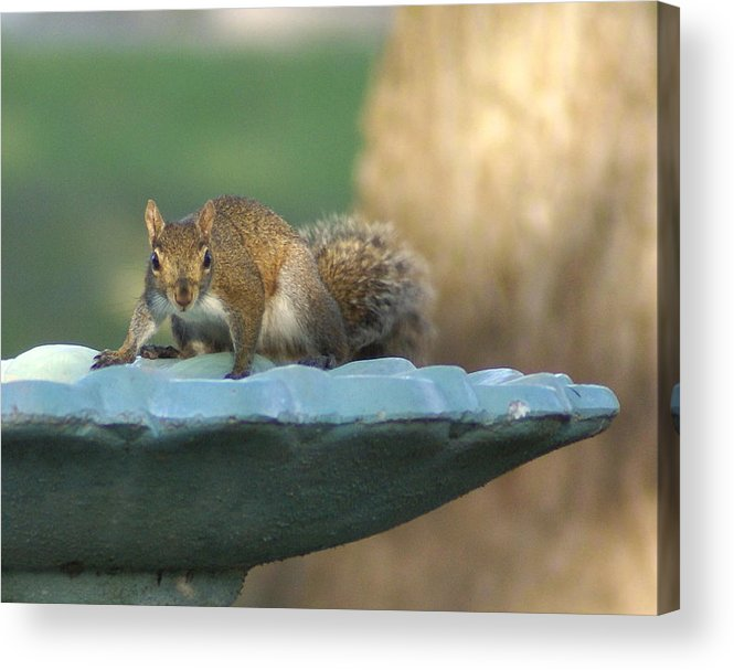 Squirrel Acrylic Print featuring the painting Testing The Waters by Debbie May