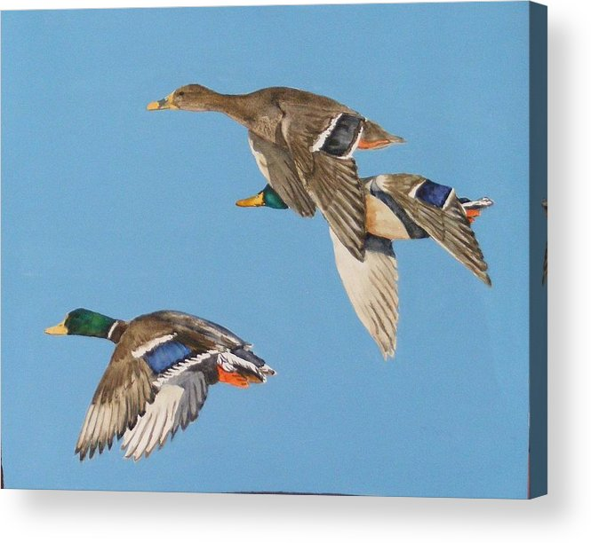 Blue Acrylic Print featuring the painting Three Mallards by Diane Ziemski