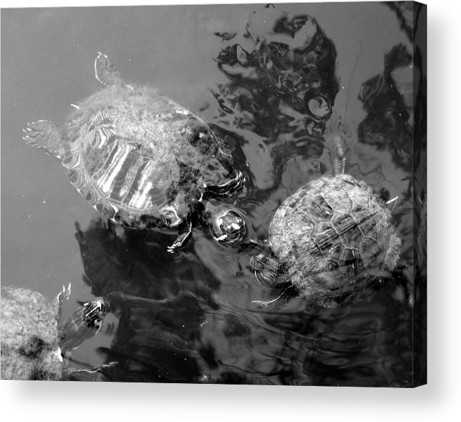 Turtles Acrylic Print featuring the photograph Turtle Pond by Lindsey Orlando