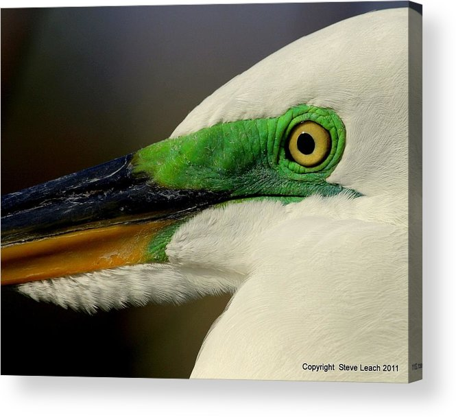 White Egret Acrylic Print featuring the photograph White Egret 1 by Steve Leach