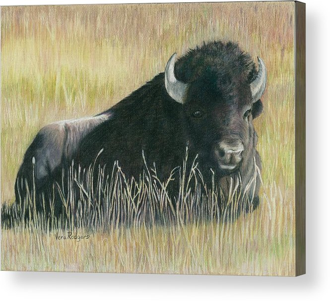 Bison Acrylic Print featuring the drawing Yellowstone Loner by Vera Rodgers