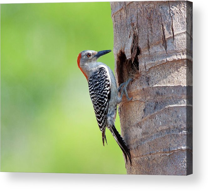 Animal Themes Acrylic Print featuring the photograph Red-bellied Woodpecker by Guillermo Armenteros, Dominican Republic.
