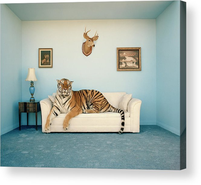 Pets Acrylic Print featuring the photograph Tiger On Sofa Under Animal Trophy by Matthias Clamer