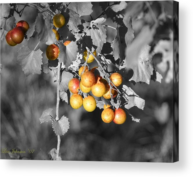 Muscadine Acrylic Print featuring the photograph Before The Wine by Lisa Johnston