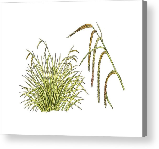 Cutout Acrylic Print featuring the photograph Pendulous Sedge (carex Pendula) by Science Photo Library