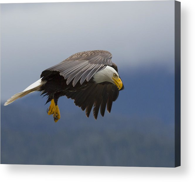 Bald Acrylic Print featuring the photograph Coastal Hunter by Mike Taddeo