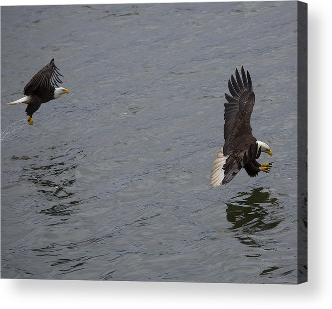 Bald Acrylic Print featuring the photograph Grab Two by Mike Taddeo