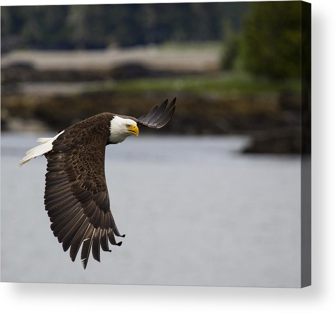 Bald Acrylic Print featuring the photograph Shallow Feeding by Mike Taddeo