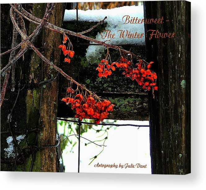 Bittersweet Acrylic Print featuring the photograph Bittersweet The Winter Flower by Julie Dant