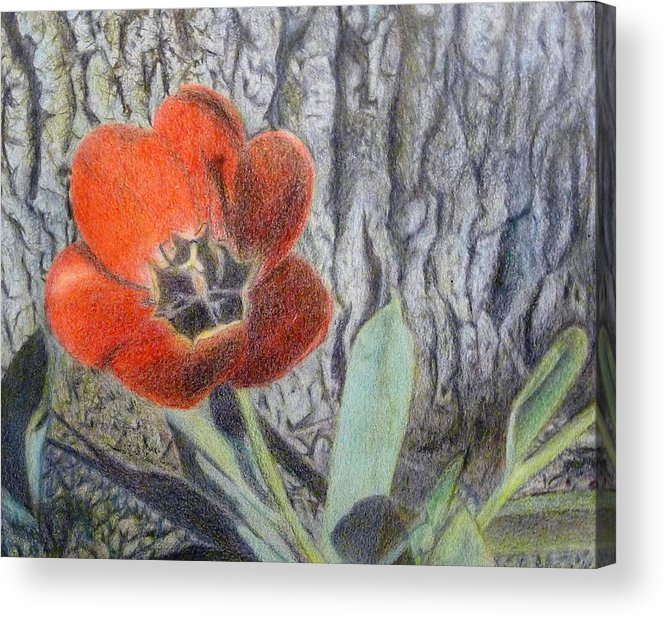 Flower Acrylic Print featuring the drawing Red Tulip by Linda Pope