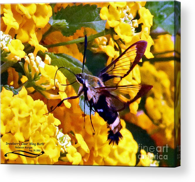 Snowberry Acrylic Print featuring the photograph Snowberry Clearwing Hummingbird Moth by Rebecca Morgan