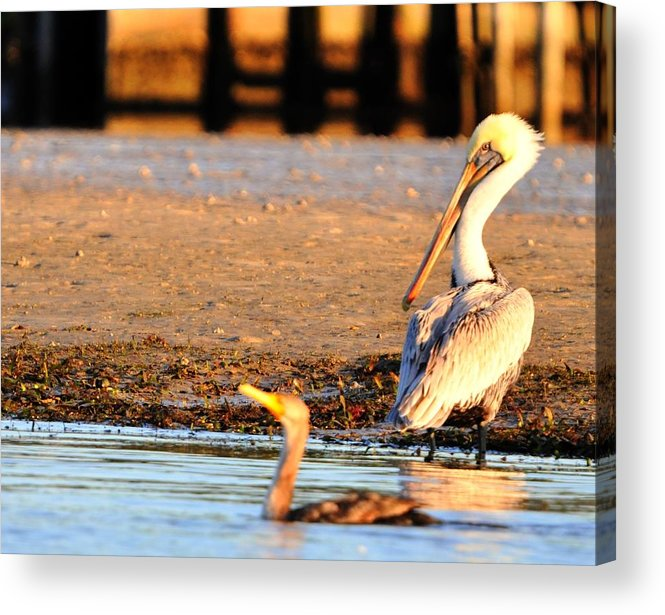 Great Blue Heron Acrylic Print featuring the digital art Waking Up by Barry R Jones Jr
