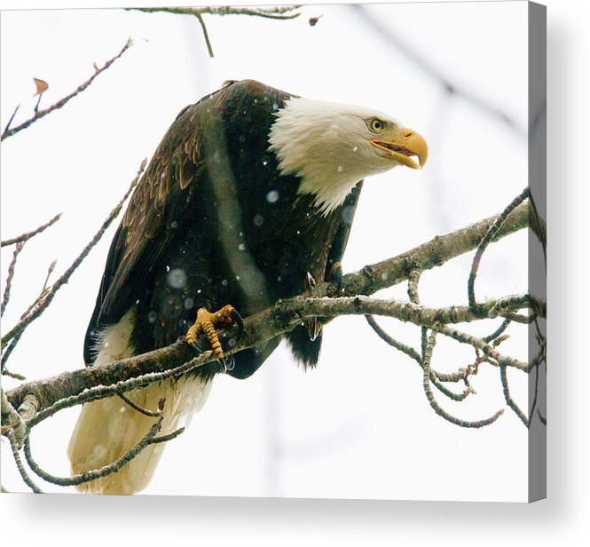 Eagles Acrylic Print featuring the photograph Eagle In A Tree by Clarence Alford