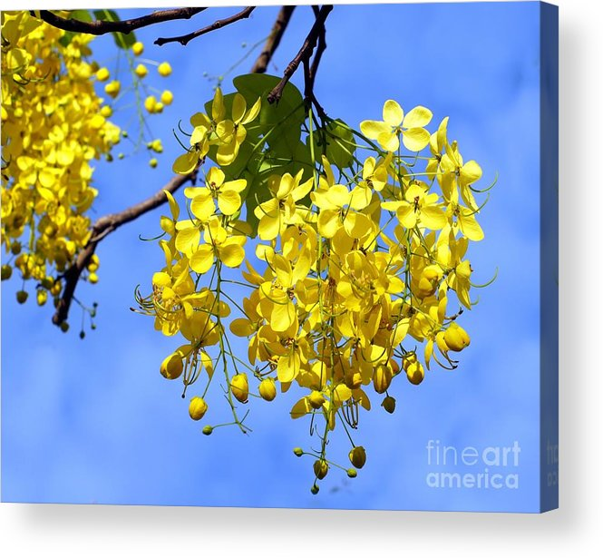 Blossoms Acrylic Print featuring the photograph Blossoms Of The Golden Chain Tree by Yali Shi