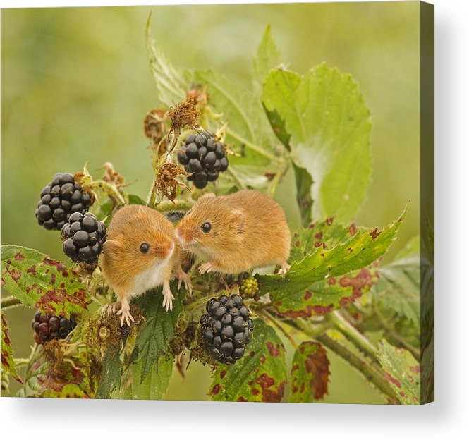Harvest Mice Acrylic Print featuring the photograph Harvest Mice On Blackberry by Jenny Hibbert