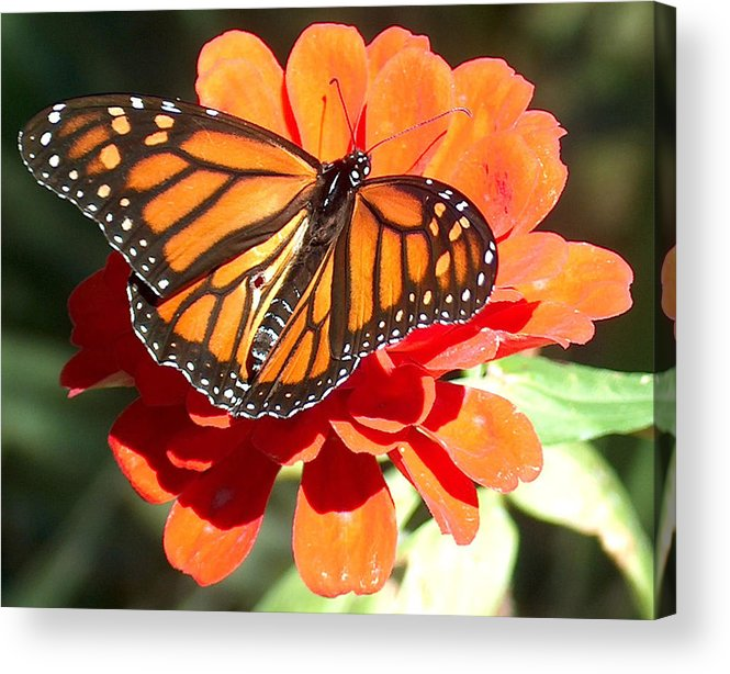 Monarch Butterfly Acrylic Print featuring the photograph Monarch Butterfly by Racquel Morgan