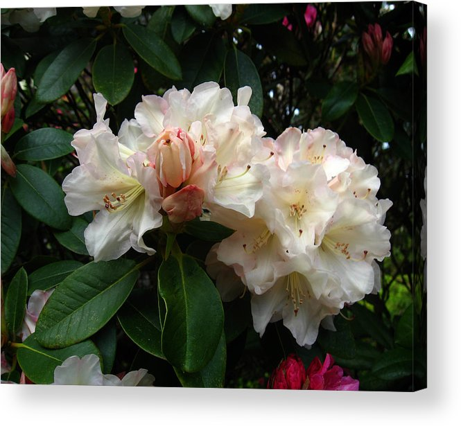 Rhododendrons Acrylic Print featuring the photograph Rhododendrons IIi by Aliza Souleyeva-Alexander