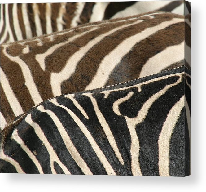 Zebra Acrylic Print featuring the photograph Stripes by Donald Tusa