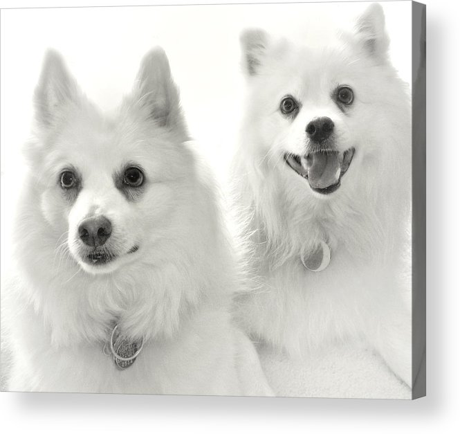 Dogs Acrylic Print featuring the photograph American Eskies by Julie Palencia