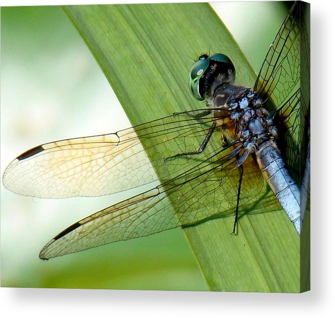 Dragonfly Acrylic Print featuring the photograph Lacy Wings by Rosanne Jordan