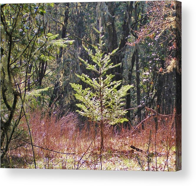 Pine Tree Acrylic Print featuring the photograph New Growth by David Schmerer