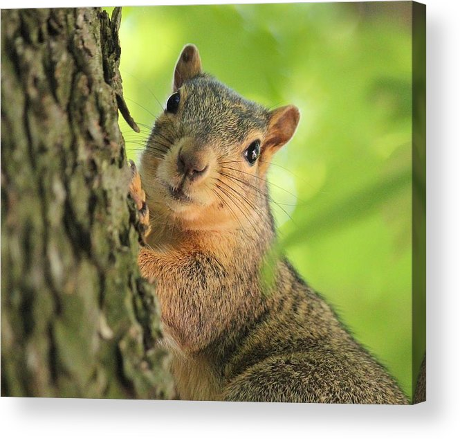 Squirrel Acrylic Print featuring the photograph Sweet Look by Rosanne Jordan
