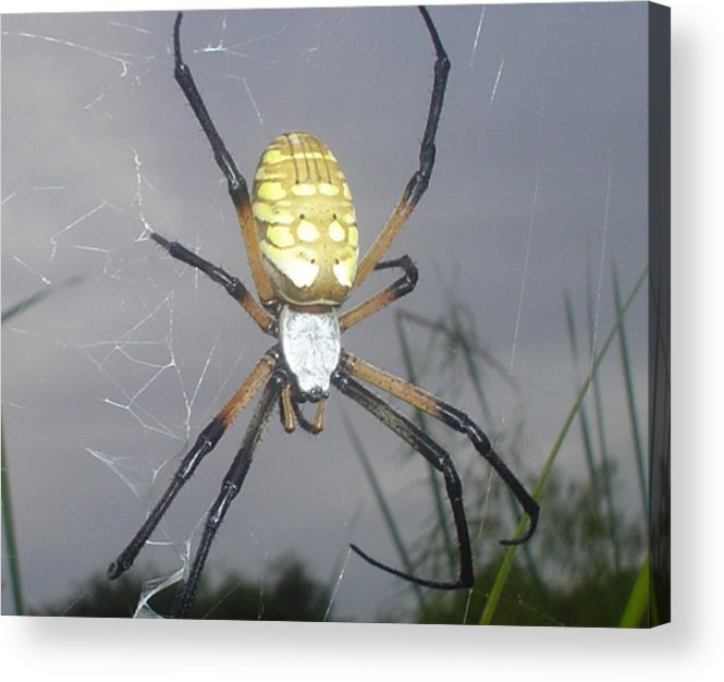 Bugs Acrylic Print featuring the photograph Texas Garden Spider by Evelyn Patrick