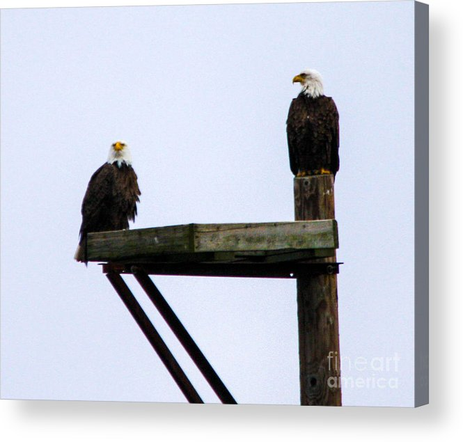 This Is A Photo Of Nesting Bald Eagles Along The Delaware River In Pennsylvania. Acrylic Print featuring the photograph Bald Eagles by William Rogers