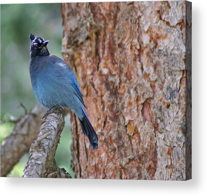 Blue Jay Acrylic Print featuring the photograph Blue Jay by Heather Coen