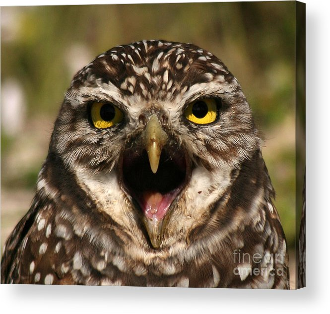 Owl Acrylic Print featuring the photograph Burrowing Owl Eye To Eye by Max Allen