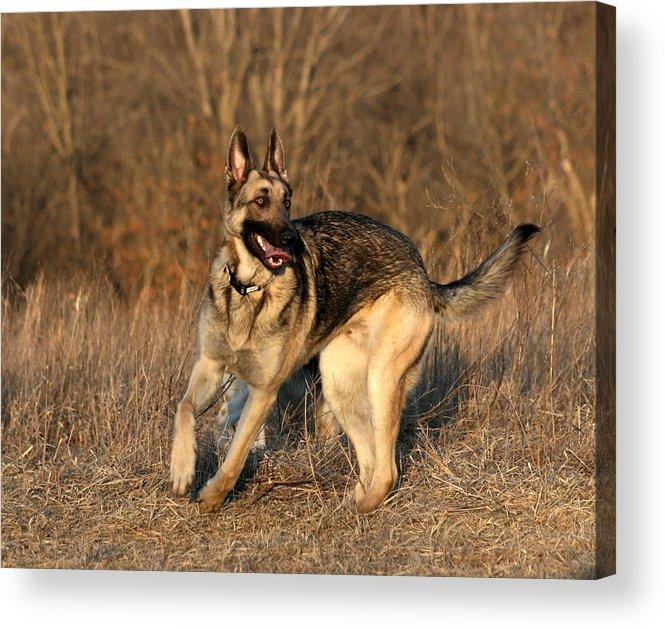 Animal Acrylic Print featuring the photograph German Shepherd 1 by David Dunham