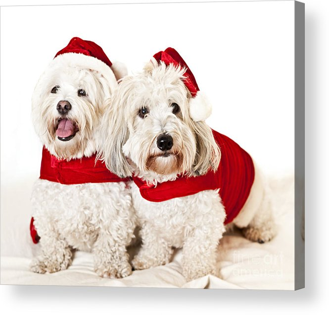 Dogs Acrylic Print featuring the photograph Two Cute Dogs In Santa Outfits by Elena Elisseeva