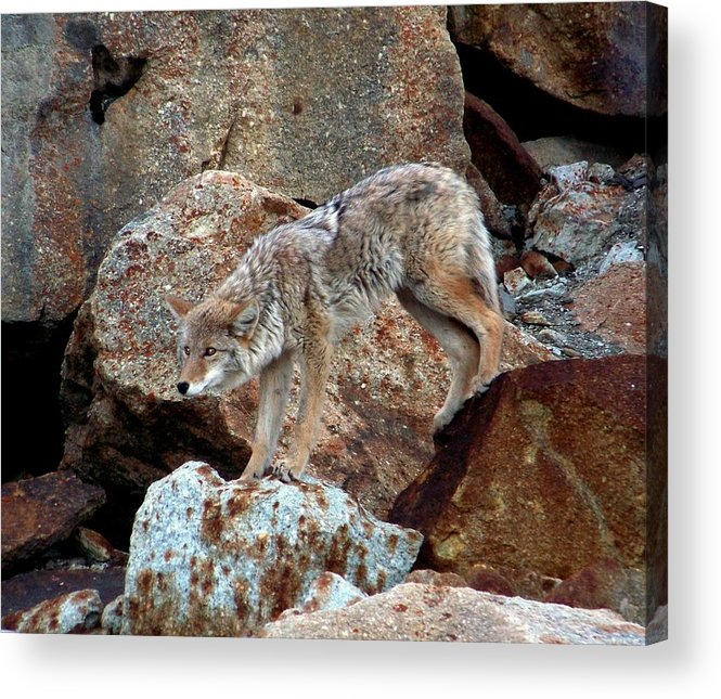 Coyotes Acrylic Print featuring the photograph Spotting Prey by Karen Wiles