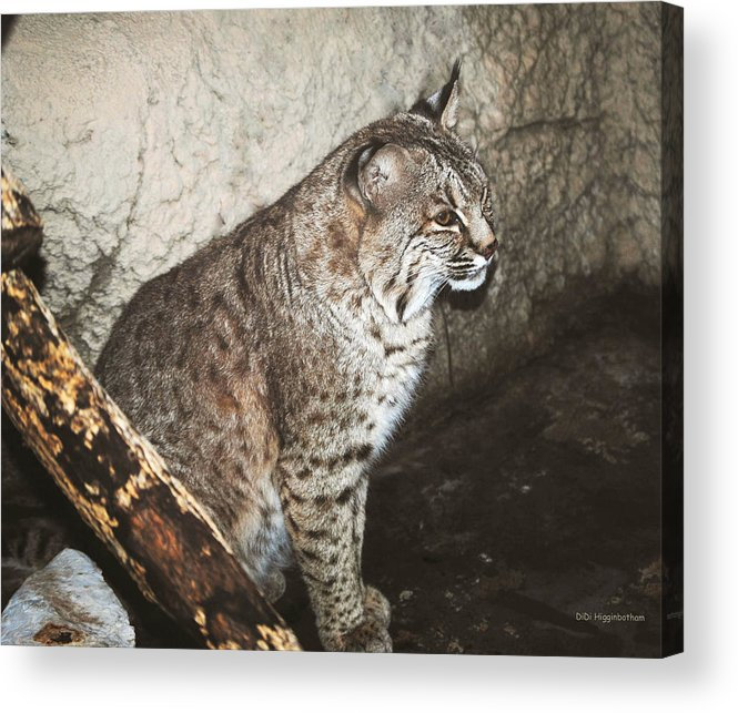 Bobcat Acrylic Print featuring the photograph Bobcat by DiDi Higginbotham