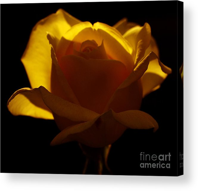 Anniversary Acrylic Print featuring the photograph Yellow Rose by Odon Czintos