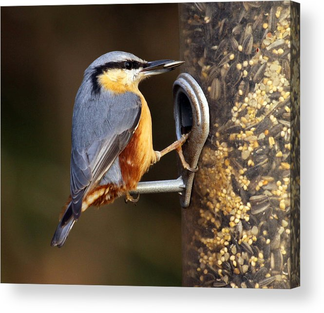 Bird: Nuthatch: European Birds:  Acrylic Print featuring the photograph Nuthatch by Vic Sharratt
