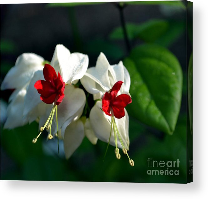 Botanical Acrylic Print featuring the photograph Twin Bleeding Heart Vine Flowers by Eva Thomas