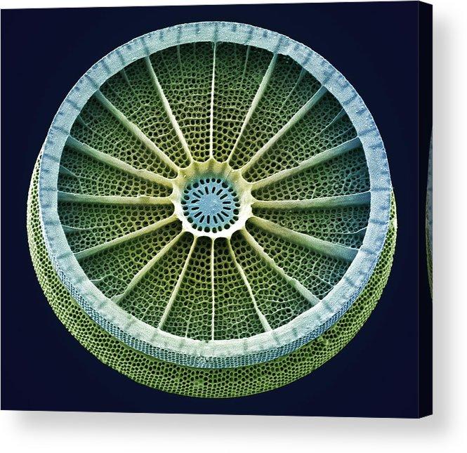 Arachnoidiscus Sp. Acrylic Print featuring the photograph Diatom, Sem by Steve Gschmeissner