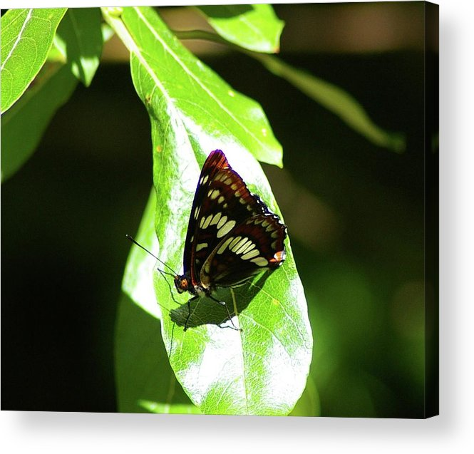 Butterfly Acrylic Print featuring the photograph A Butterfly In The Sun by Jeff Swan