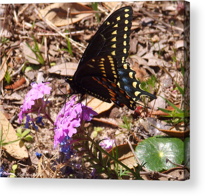 Butterfly Acrylic Print featuring the photograph Black Swallowtail Butterfly by Nicole I Hamilton