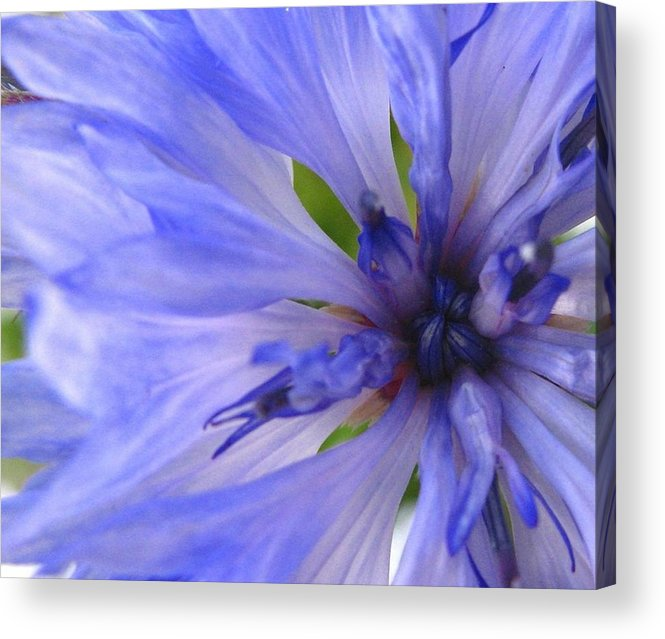 Flower Acrylic Print featuring the photograph Blue Princess by Rhonda Barrett