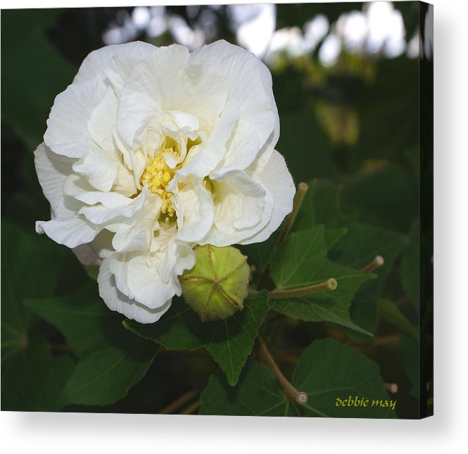Botanical Acrylic Print featuring the photograph Confederate Rose by Debbie May